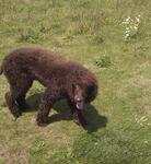 Bay the Irish Water Spaniel